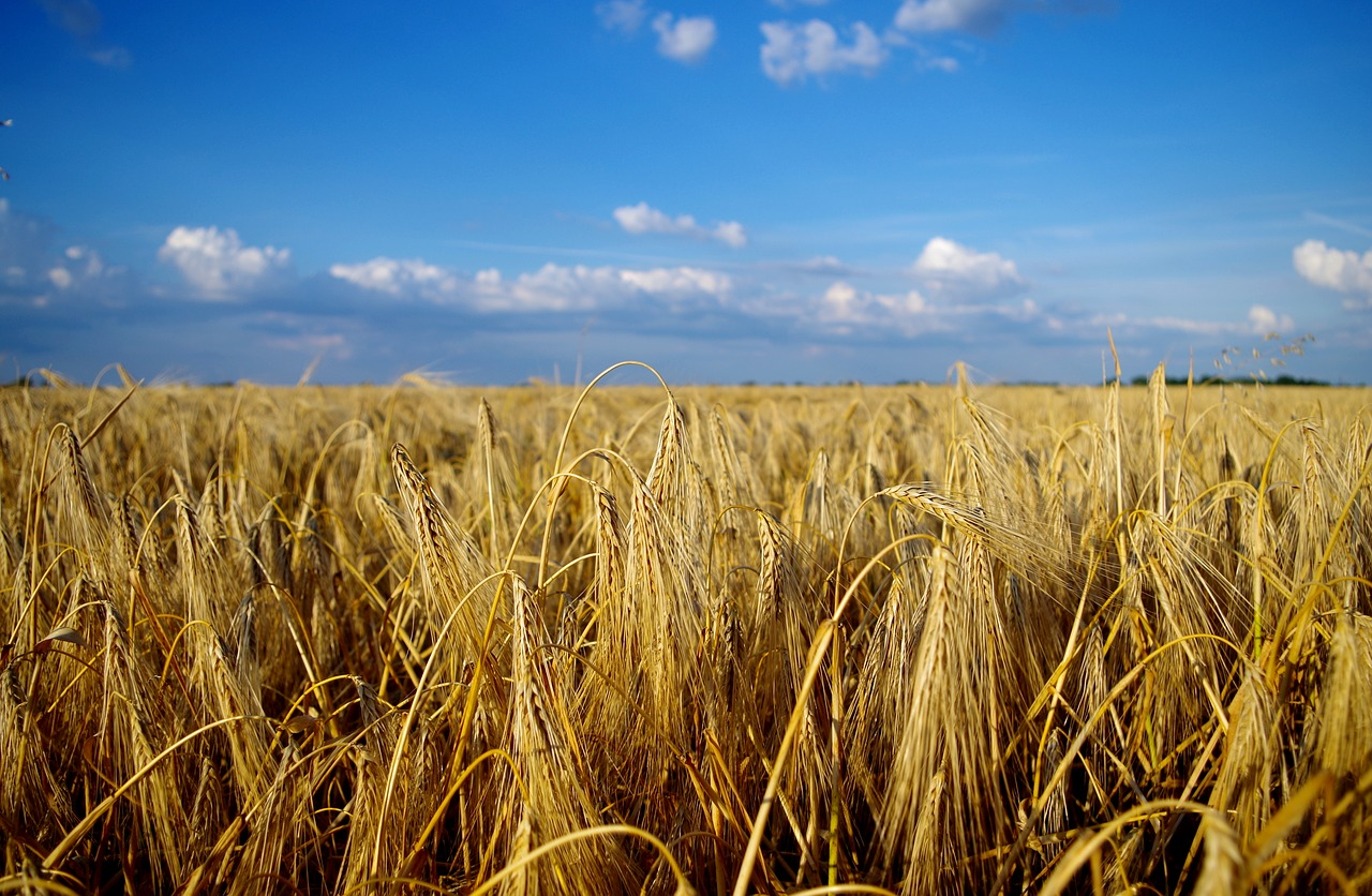 Picture of a wheat field